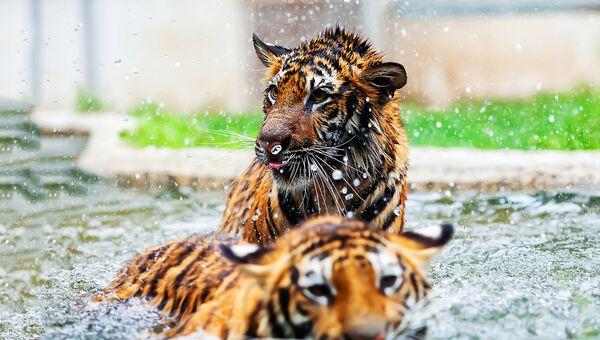 Амурские тигрята. Архивное фото