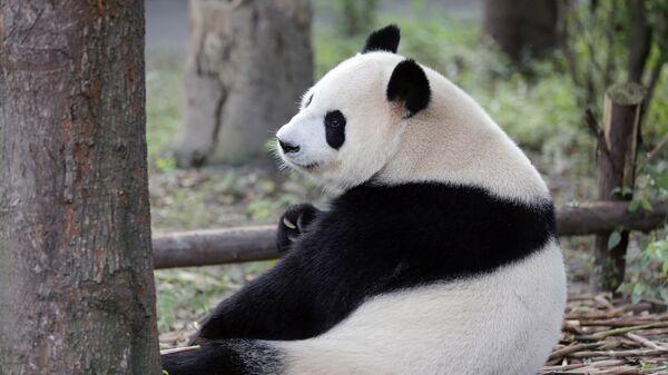 Большая панда в Научно-исследовательском центре разведения панд города Чэнду в Китае. Архивное фото