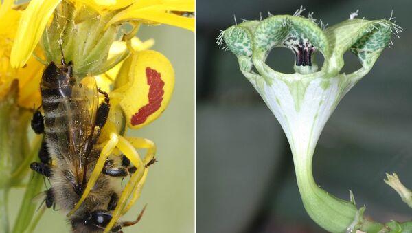 Декоративные цветы Ceropegia обманывают мушек, привлекая их запахом умирающей пчелы