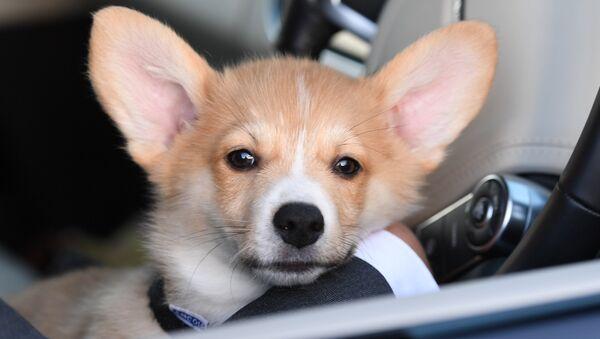 Патриарху Кириллу подарили в Лондоне щенка корги