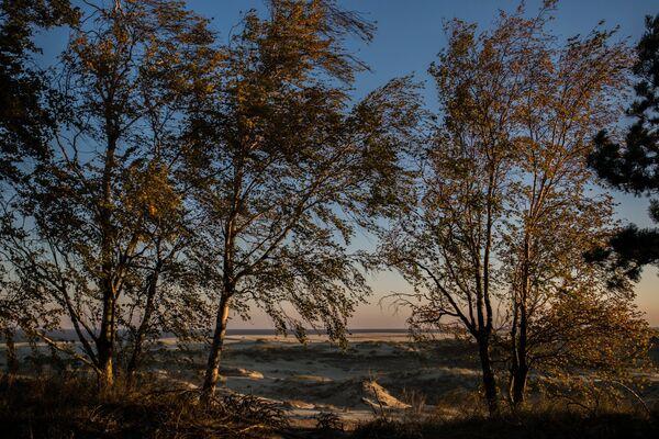 Деревья в национальном парке Куршская коса
