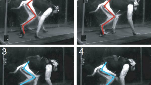 Парализованная макака, которой ученые вернули способность ходить