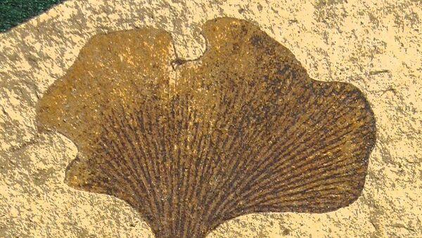 Листья гинкго, древнейшего «ископаемого» растения на Земле