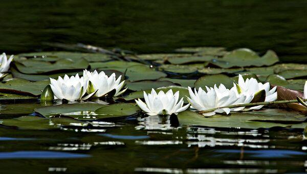 Кенозерский национальный парк. Кувшинка белая