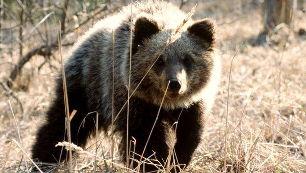 Кенозерский национальный парк. Медведь