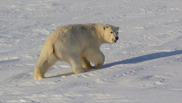 Белый медведь Национального парка Берингия