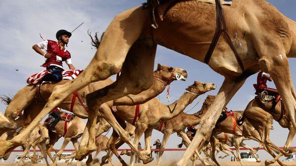 Традиционные верблюжьи бега во время фестиваля верблюдов на окраине Абу-Даби, ОАЭ