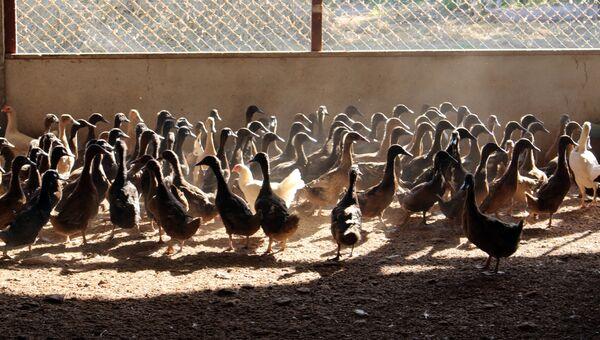 Утиная ферма. Архивное фото