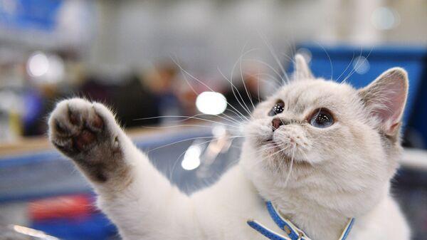 Кошка породы британская короткошерстная на международной выставке Кэтсбург 2017 в Москве