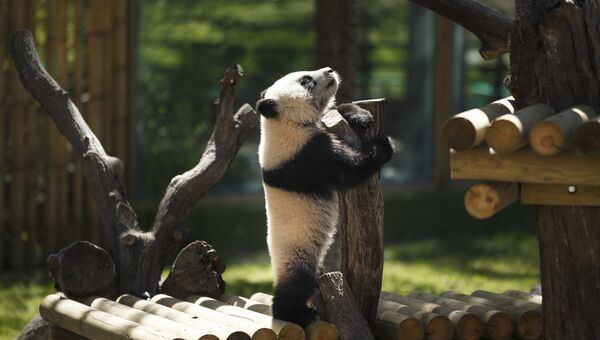 Семимесячный детеныш панды в зоопарке Мадрида