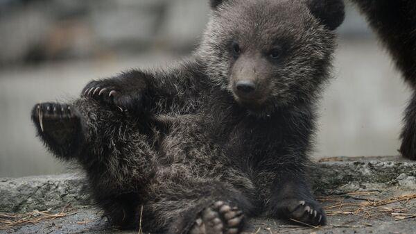 Бурый медвежонок, родившийся в январе у медведей Вали и Лехи, в вольере Новосибирского зоопарка