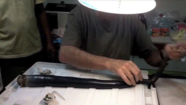 Ученые показали обнаруженного на Филиппинах гигантского корабельного червя