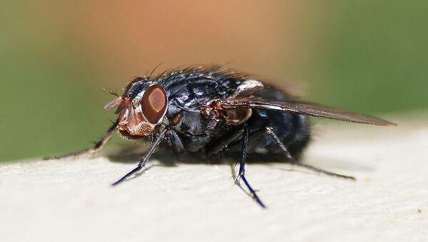 Синяя мясная муха. Архивное фото