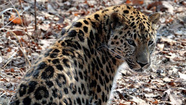 Ученые планируют расселить дальневосточных леопардов в южном Приморье