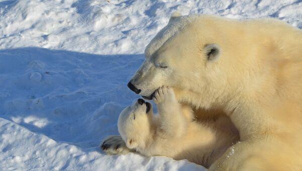 Папы белых медведей не принимают участия в воспитании медвежат; мама встречает папу на несколько дней весной, за год до рождения детёнышей, и больше они не встречаются. Мама оберегает потомство от самцов, которые опасны для медвежат