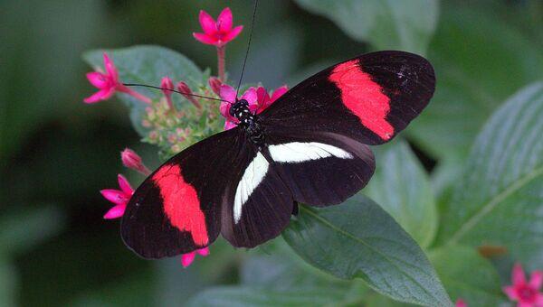 Бабочка геликонид