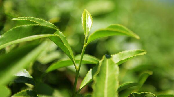Чайные листья на плантации