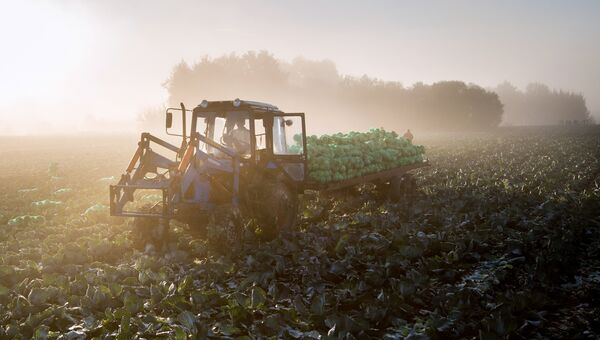 Уборка урожая капусты. Архивное фото