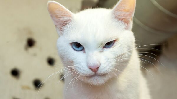 Эрмитажный кот Ахилл. архивное фото