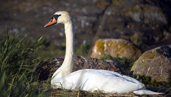На остров Соммерс прилетают лебеди