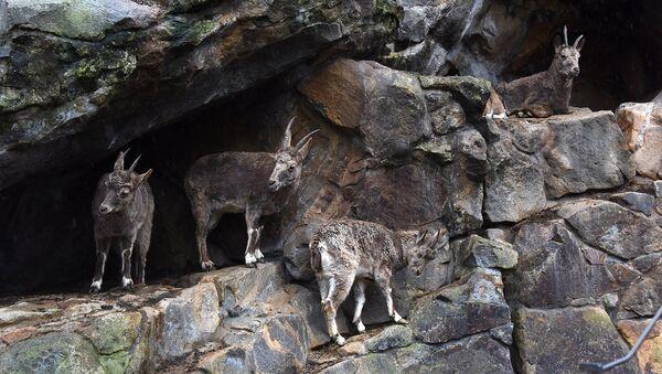 В Саяно-Шушенском заповеднике посчитали козерогов