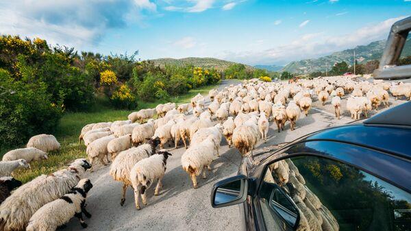 Овцы на дороге с видом на Кавказский хребет