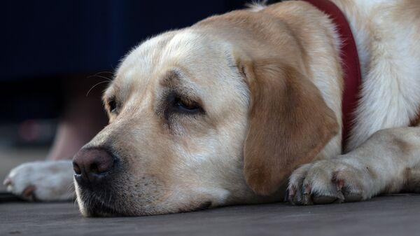 Участник фестиваля собак и людей Спутники жизни (собака-поводырь) в Измайловском Парке культуры и отдыха в Москве