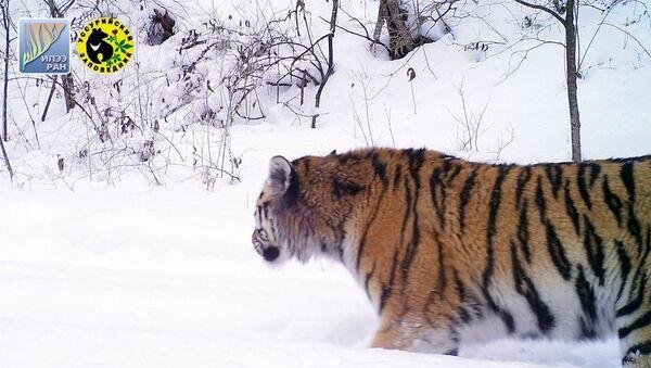 Молодая тигрица, появившаяся в Уссурийском заповеднике в 2016 году