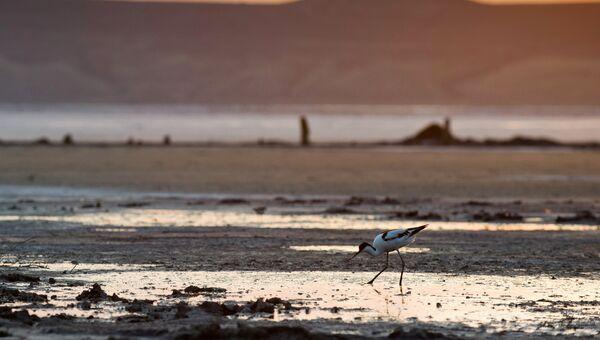 Шилоклювка на Чокракском озере в Крыму