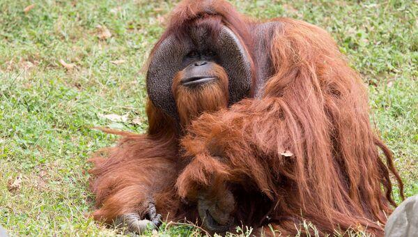 Скончавшийся в зоопарке Атланты орангутанг Чантек