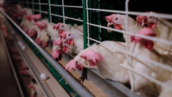 Куры в одном из цехов на птицефабрике. Архивное фото