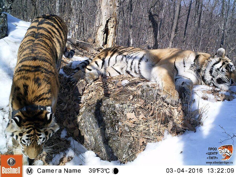 И вот уже второй год тигры живут вместе и дали здоровое потомство