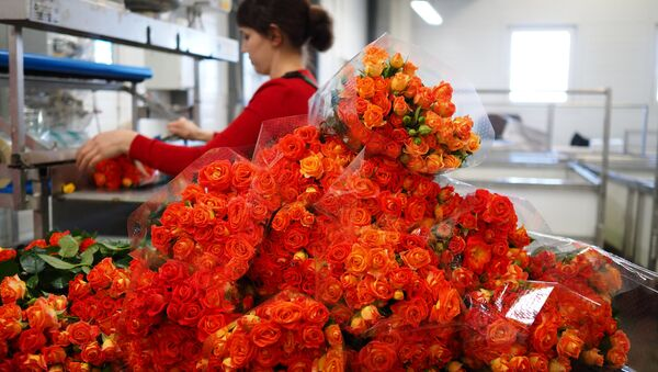 Сбор роз к 8 Марта в Краснодарском крае