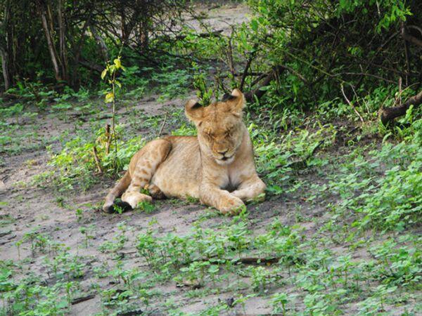 Лев на природе. АРХИВ