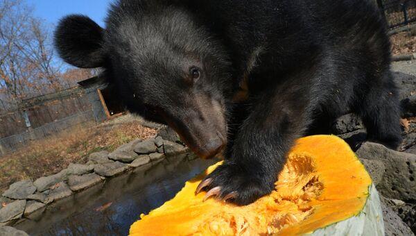 Детеныш гималайского медведя ест тыкву в вольере Приморского сафари-парка