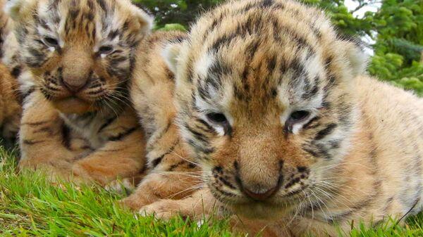 Новорожденные амурские тигрята в сафари-парке Тайган в Крыму