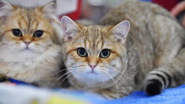 Кошки породы британская короткошерстная на международной выставке Гран-при Royal Canin-2017 в Москве