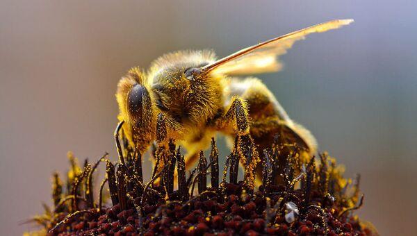 Пчела, собирающая пыльцу