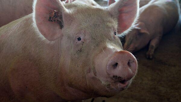 Свинья. Архивное фото