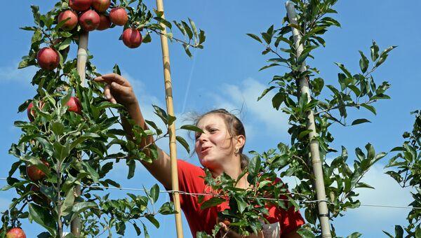 Гражданка Украины во время сбора урожая яблок в Польше. Архивное фото