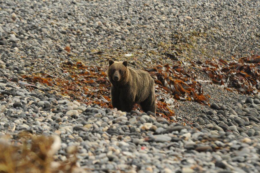 Курильский медведь на Тихоокеанском побережье