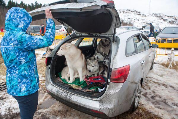 Собаки в машине одного из участников в ожидании Международных соревнований по гонкам на собачьих упряжках По земле Сампо