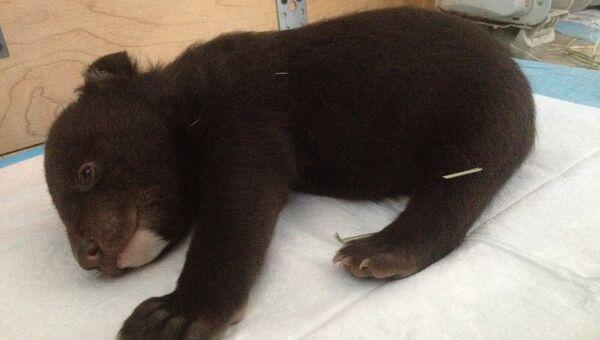 Одномесячный гималайский медвежонок в Центре реабилитации в селе Алексеевка