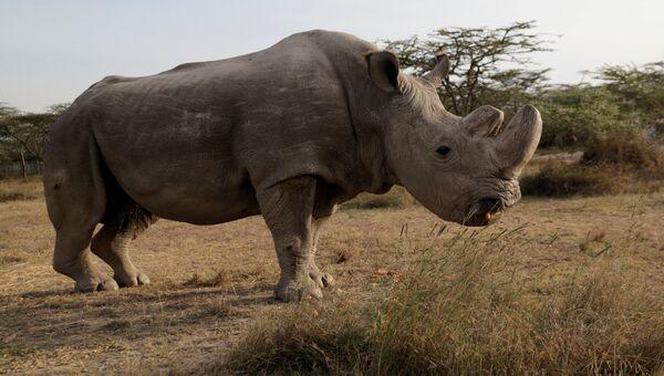 Последний самец северного белого носорога Судан в заповеднике Ol Pejeta в Кении. Архивное фото