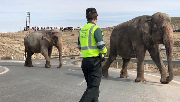 Раненные цирковые слоны в результате ДТП в Испании. 3 апреля 2018