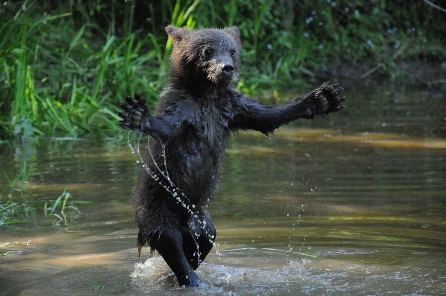 Бурый медвежонок купается, биостанция Чистый лес, деревня Бубоницы, Тверская область
