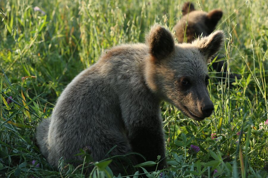 Медвежонок-сирота на биостанции Чистый лес, деревня Бубоницы, Тверская область