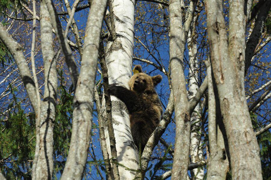 Медвежонок на прогулке, биостанция Чистый лес, деревня Бубоницы, Тверская область