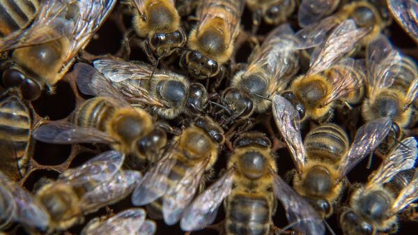 Пчелы на пасеке у села Натальино Свободненского района в Амурской области.