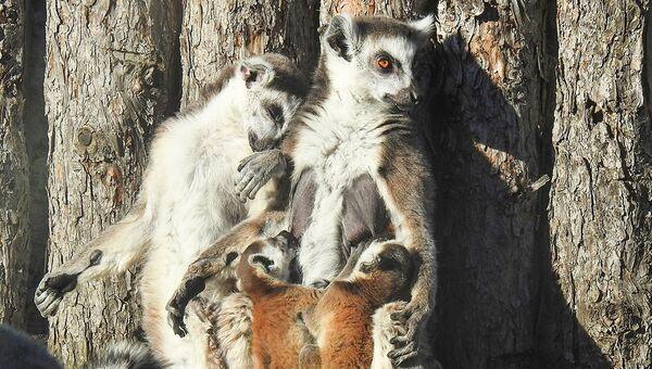 Детеныши кошачьего лемура родились в московском зоопарке